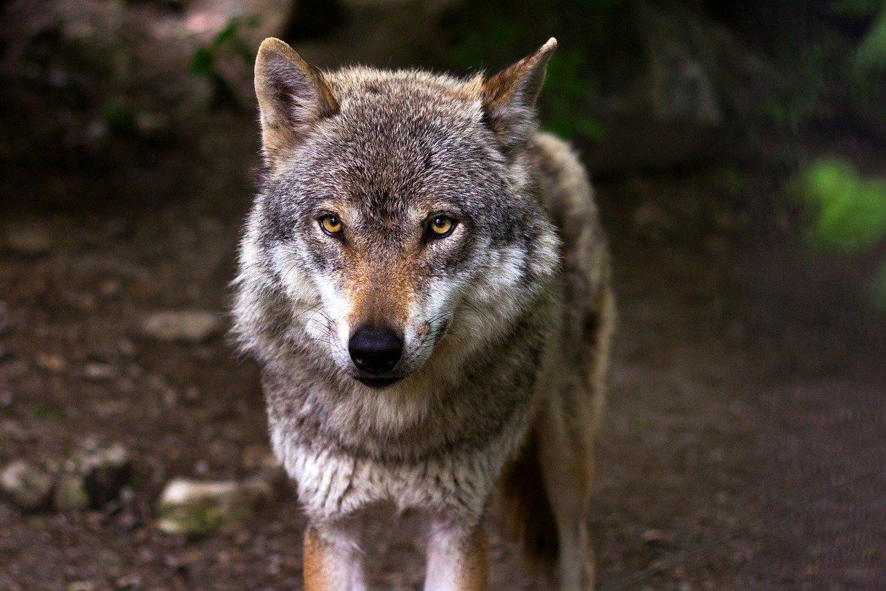 Odszkodowanie za szkody wyrządzone przez wilki i nie ty...