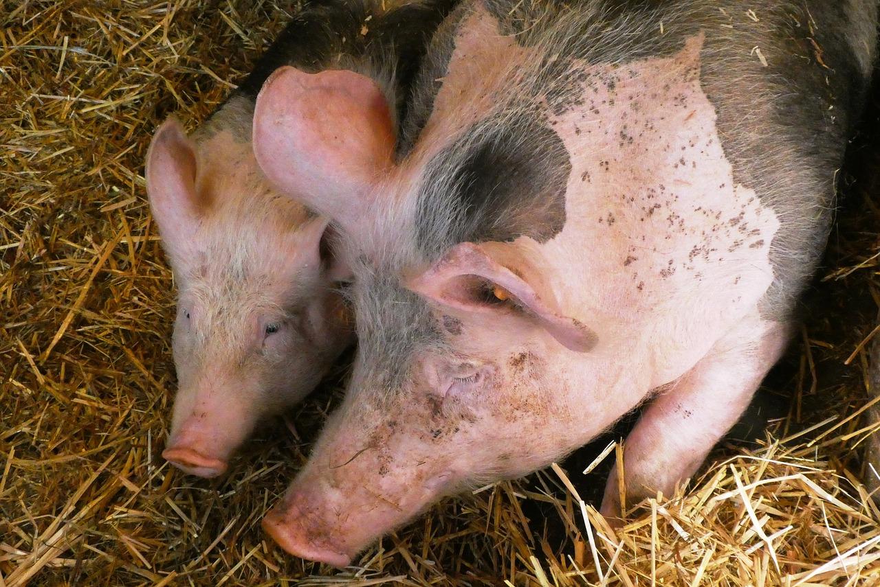 Producenci świń w cyklu otwartym również będą objęci po...