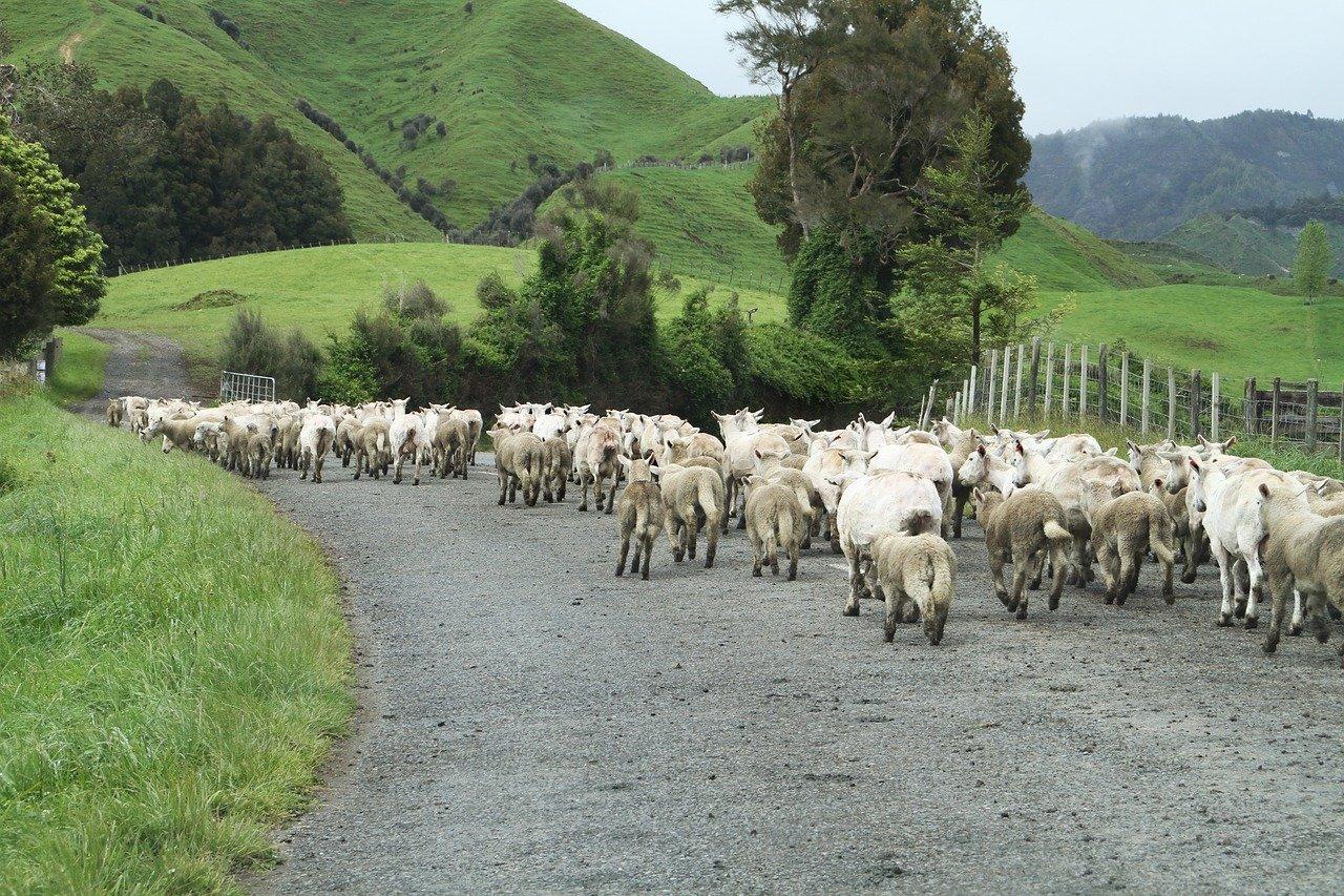 Rolnictwo na końcu świata – Nowa Zelandia...