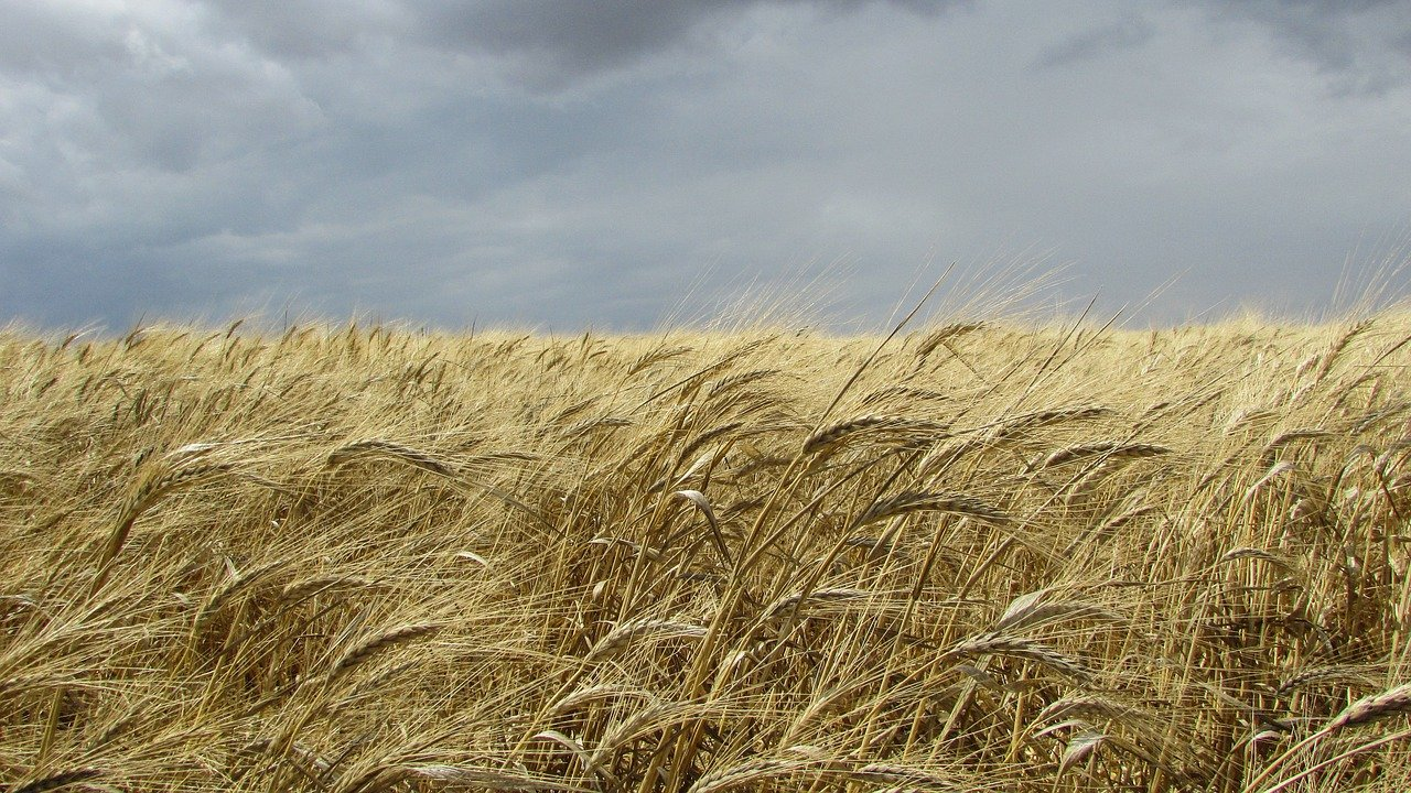 Przezimowanie pszenicy ozimej, cz. 2/4 | Znaczenie klim...