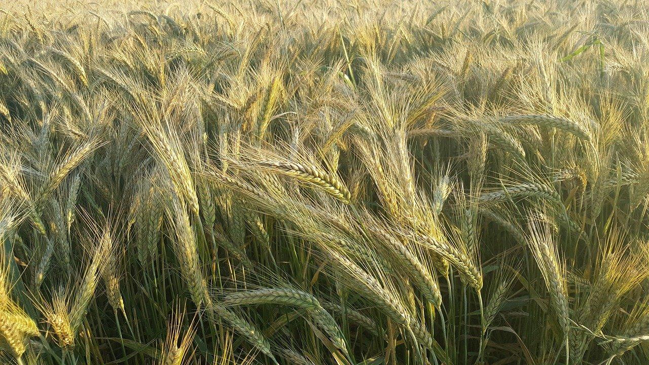 Bezpłatne szkolenie - technologia uprawy zbóż...