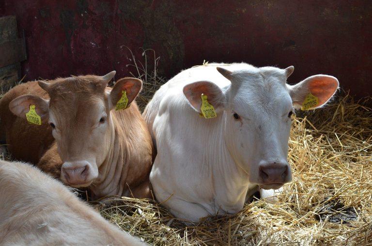 dwie krowy leżą na sianie, krowa po lewej stronie jest brązowa, krowa po prawej stronie jest biała