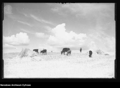 krowy rżysko 1934